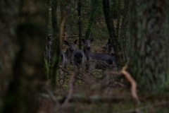60D, damherthindes nog steeds in het bos te donker voor goede fotos