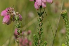 Rode dophei (Erica cinerea)