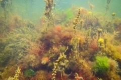 hier zie je de woekering van japanse bessenwier (Sargassum muticum)
