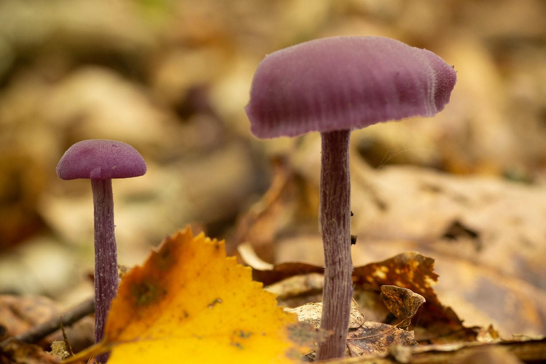 Amethistzwam (Laccaria amethystina)