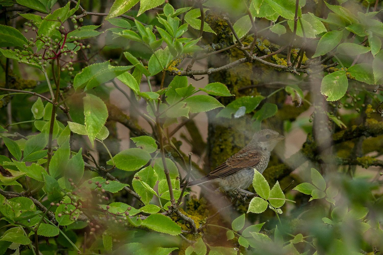 grauwe klauwier (Lanius collurio) jong, de ouders lieten zich slecht fotograferen