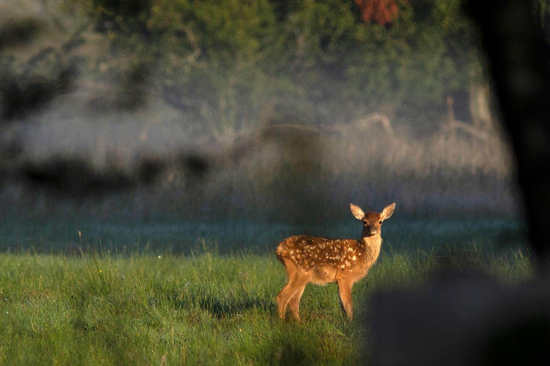 edelhertkalf in het ochtendlicht
