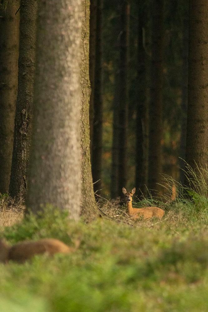 Rree in het ochtendlicht met zwijn op de voorgrond