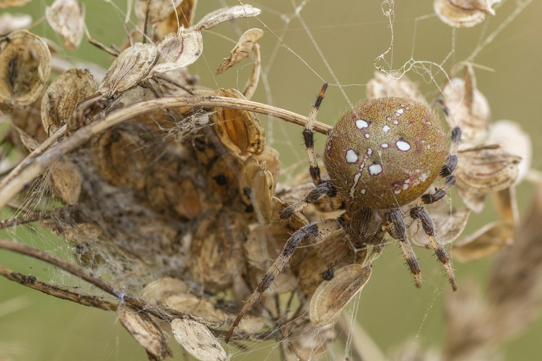 viervlekwielwebspin (Araneus quadratus)