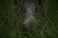 dit zwijn kwam wel heel dichtbij, hij zag mij niet door de begroeing