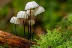 het wieltje (Marasmius rotula)