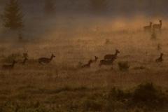 Roedel edelhert hindes in de mist