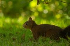 Deze eekhoorn bezoekt de tuin regelmatig