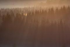 zonnenharpen door het naaldbos
