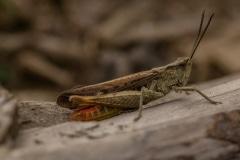 Bruine sprinkhaan (Chorthippus brunneus)