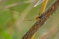 Herfsthangmatspin (Linyphia triangularis)