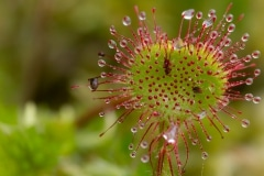 Ronde zonnedauw (Drosera rotundifolia)