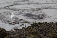 Zeehond met meeuw