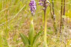 soldaatje orchidee