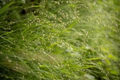 bloeiend Eenbloemig parelgras (Melica uniflora)