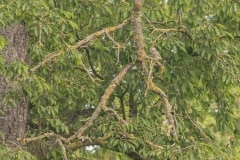 Zoek de steenuil (Athene noctua)