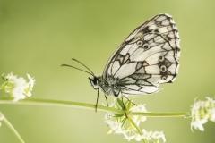 Dambordje (Melanarchia galathea)