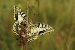 Konininnepage (Papilio machaon)