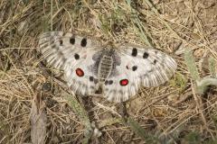 Apollovlinder (Parnassius apollo)