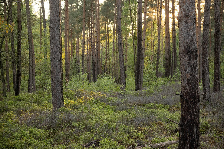 zonsondergang in het dennenbos