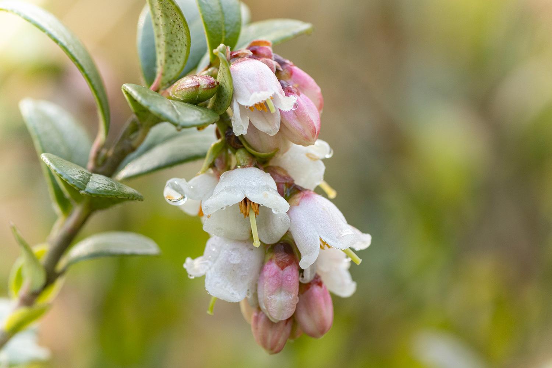 Vossenbes (Vaccinium vitis-idaea)