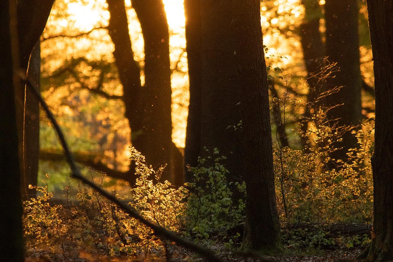Het laatste zonlicht zet het bos in vuur en vlam