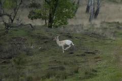 Wit damhert, ook wel Judas deer genoemd omdat hij zijn aanwezigheid verraad