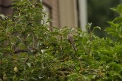 grauwe vliegenvanger (Muscicapa striata) in de perenboom