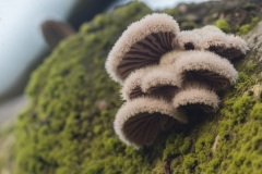 waaiertje (schizophyllum commune)