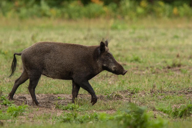 een alert zwijn loopt over het veld