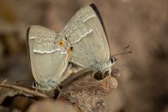parende eikenpages (Favonius quercus)