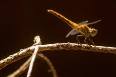Ik vermoed een jong mannetje steenrode heidelibel (Sympetrum vulgatum).