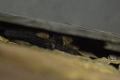 Vleermuizen onder de dakrand