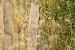 Grauwe klauwier (Lanius collurio) vrouw