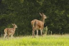 Moeder en jong vluchten de dekking in tegen de regen