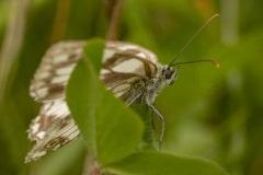 Dambordje (Melanargia galathea) vrouwtje