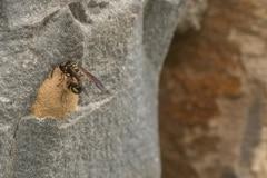 urntjeswesp (Eumenes sp.) bij zijn nest. Het randje om de kleine opening biedt houvast aan de poten om de gevangen prooi (een rups) in het urntje te kunnen duwen.