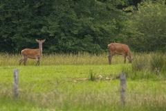 De edelherten zijn mooi rood in hun zomervacht