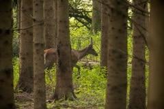 spitser die behoedzaam door het bos sluipt