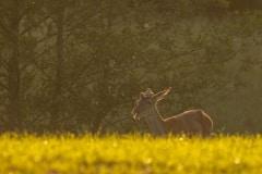 jong edelhert mannetje tijdens het gouden uurtje