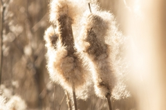 sigaren van de grote lisdodde (Typha latifolia)