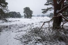 grove den (Pinus sylvestris) in de sneeuw