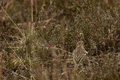 Veldleeuwerik (Alauda arvensis)
