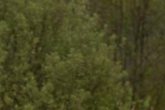 Bruine kiekendief vrouwtje, jong vrouwtjes dus zwarte ogen