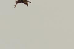 Bruine kiekendief in duikvlucht