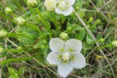 Parnassia palustris var. condensata, oftewel de kustvariant.