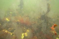 Kwallensoep, allemaal  zeedruiven (Pleurobrachia pileus).