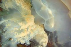 Een bloemkoolkwal, ook wel zeepaddenstoel genoemd, (Rhizostoma pulmo). In juli 2019 werd bij de kust van Engeland een exemplaar van circa 150 centimeter op film vastgelegd.