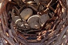 De waterhoen had eieren gelegd in de broedkorf, helaas gepredeerd