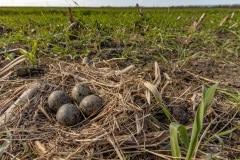 De meeste nesten bevatten 4 eieren
